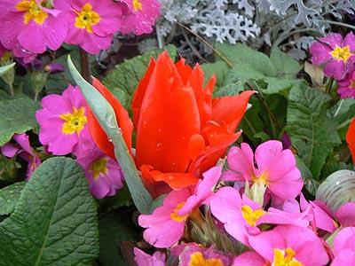 tulipes rouges.jpg