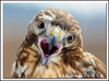 Don't Litter! (Nikographer [Jon]) Tags: lighting light bird birds animal animals march mar md nikon bravo hawk flash maryland captive 2008 injured redshoulderedhawk rehab cls redshouldered d300 sb800 remoteflash rsh offcameraflash sc29 strobist nikonstunninggallery specanimal marylandseasternshore specamimal blackwatereaglefestival entensiontubes nikond300 jss20081 4donegi