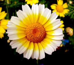 sunny side up! (Ranoush.) Tags: white flower yellow naturesfinest abigfave naturewatcher platinumheartaward floweria ilovemycityinspring