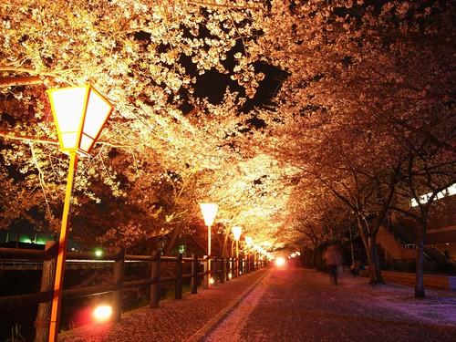 高田川(夜桜)-03