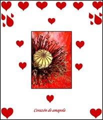 Heart poppy