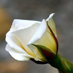 Nervi Rose-Garden - 5 (cienne45) Tags: flowers friends italy rose liguria cienne45 carlonatale genoa zena natale rosegarden nervi roseto rosetodinervi nervirosegarden