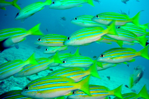 School of Common Bluestripe Snapper at Similan Islands