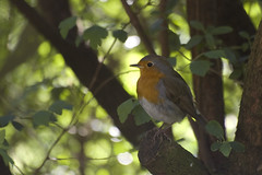 Robin (virtual.egulk) Tags: bird nature birds tiere erithacusrubecula wildlife natur v wald europeanrobin rotkelchen vgel