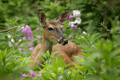 Doe (Gator 5) Tags: doe maumee sidecut vosplusbellesphotos