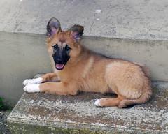 232 (Alfredo Castillo (Tato Fredy)) Tags: bw naturaleza blancoynegro nature nikon bn perro perros animales mascota mascotas pamplona navarra domesticos nikond60 txantrea fotomacro animalesdomesticos tatofredy alfredocastillo