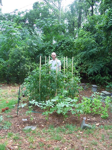baldman in garden with our newly staked tomatoes, 6/22