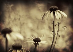 leader of the pack (shannonblue) Tags: flower sepia nikon d70 bokeh explore coneflower echinaceapurpurea hbw fpoe visiongroup ilovemypics