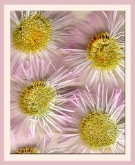 Scanned Flowers (Alicia Lynn) Tags: pink flowers usa nature fauna wisconsin outdoors flora purple blossom wildlife cluster heartland northamerica epson blossoming bud 2008 wi flourishing floweret floret catchycolorspink artisticexpression outagamiecounty scannedflowers outdoorsflower cmwdpink wonderfulworldofflowers canonrebelxti alicialynncook northamerica