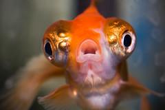 [フリー画像] 動物, 魚類, 金魚, 口を開ける, 200807111100