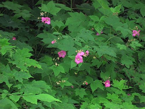 Purple raspberry or thimbleberry