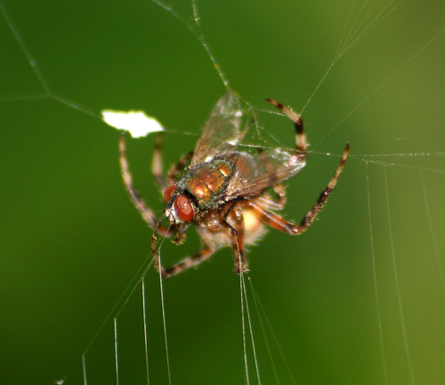 spider with house fly