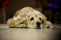 Cool Surface (Monkey Balls) Tags: dog apple relax cool floor sleep spot cockerspaniel