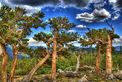 Bristlecone Pine (Thad Roan - Bridgepix) Tags: blue trees sky nature pine clouds landscape colorado scenic hdr mountevans bristlecone byway photomatix anawesomeshot 200807 mountgoliath forestmountains
