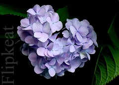 Put A Little Love In YOUR Heart (flipkeat) Tags: flowers blue plants ontario flower love closeup outdoors petals heart natural awesome blossoms valentine valentines hydrangea purpleheart hortensia portcredit hydrangeamacrophylla mywinners dsch7 wonderfulworldofflowers 100commentgroup