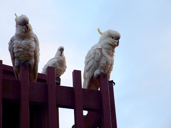 three wise cockatoos