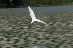 Hong Kong - Nam Sang Wai (cnmark) Tags: china white motion blur bird heron nature animal speed river geotagged hongkong flying movement action great flight fast hong kong wetlands  wai  sang egret nam reservation   allrightsreserved reservat geo:lat=2245473 geo:lon=11404736
