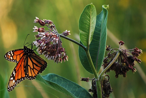 Monarch Butterfly Feeding on Milkweed