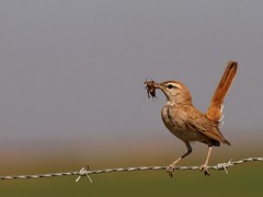 Rufous-tailed Bush robin ( Cercotrichas galactotes ) (diegocon1964) Tags: españa sevilla soe cercotrichasgalactotes anawesomeshot lospalaciosyvillafranca avianexcellence alzacolas rufoustailedbushrobin
