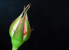 Rosa mini (Gregorio Parvus) Tags: flower rose rosa mini fiore minirose minirosa