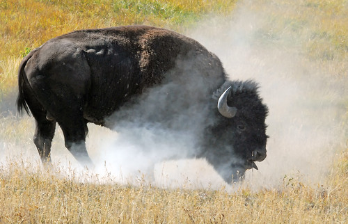 Bull Bison after rolling in dirt - 0391b