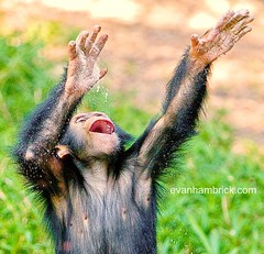 Baby Chimpanzee (Evan Animals) Tags: love smile smiling fun happy sand chimp chimpanzee commonchimpanzee femalechimp chimpplaying happychimp smilingchimp smilingchimpanzee chimpthrowingsand 3yearoldchimp