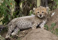 Shakira's Cub (Lyndon Firman) Tags: cub cheetah shakira masaimara acinonyxjubatus specanimal impressedbeauty vosplusbellesphotos flickrbigcats