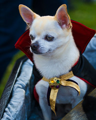Dracula Dog (Dean of Photography) Tags: dog pet chihuahua animal mammal costume friend sheep shepherd watch watching guard pride domestic hero winner companion fellow trusty attendant horde attentive alert guarding loyal watchdog sentinel faithful watchful chaperon dogincostume thechallengefactory herowinner