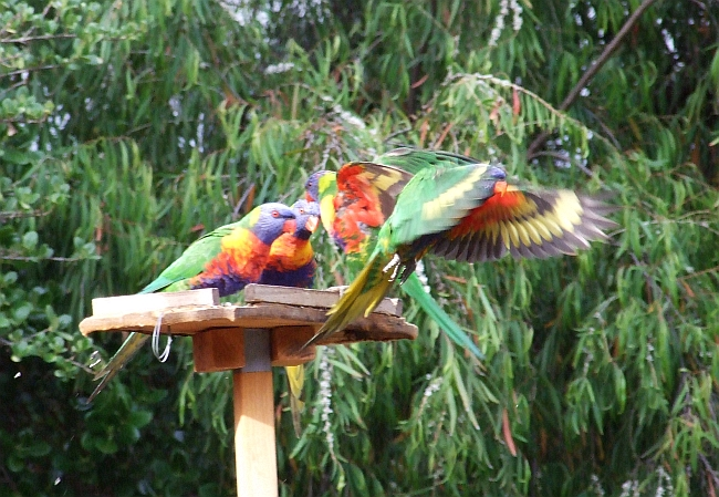 rainbow lorikeets in action 03