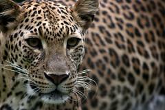 Leopard (Phalinn Ooi) Tags: nature animals zoo wildlife malaysia negara flickrbigcats