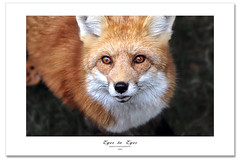 Eyes to Eyes (Imapix) Tags: canada art nature animal canon photography photo eyes foto photographie image quebec omega qubec fox imapix renard gaetanbourque onephotoweeklycontest vosplusbellesphotos imapixphotography gatanbourquephotography