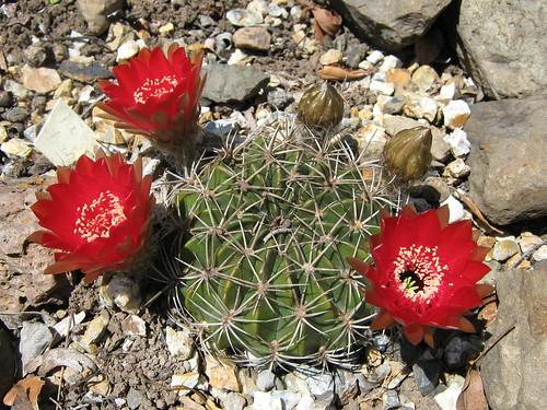 spring cacti flowers - Page 7 3008462269_bcb0fe2b23