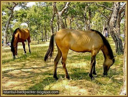 Horses at Princes' Island, Istanbul