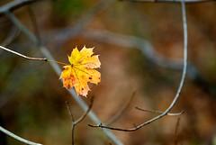 last leaf standing (vandyll.net) Tags: autumn color fall leaf nikon maryland nikkor solitary savagemill 300mmf28dafi