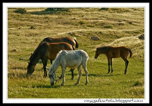 Horses at Karasar