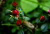 Hope there's someone... (Fabiana Velôso) Tags: roses verde folhas água cores petals rosa esperança vermelho rosas antonyandthejohnsons foco pétalas botões hopetheressomeone fabianavelôso