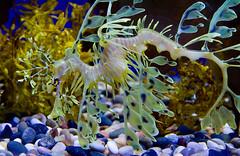Leafy Sea Dragon (julesnene) Tags: california fish nature aquarium monterey montereybayaquarium montereybay leafyseadragon funtravel julesene