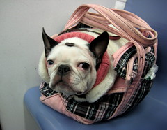 Stuffed T.Una roll (WelcomeToTheDoghouse) Tags: nyc pink dog 6 cute boston train subway funny bad terrier una plaid carrier