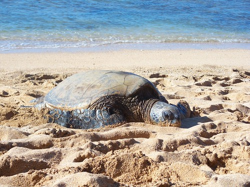 Pacific Green Sea Turtle (honu), Haleiwa, Oahu, Hawaii