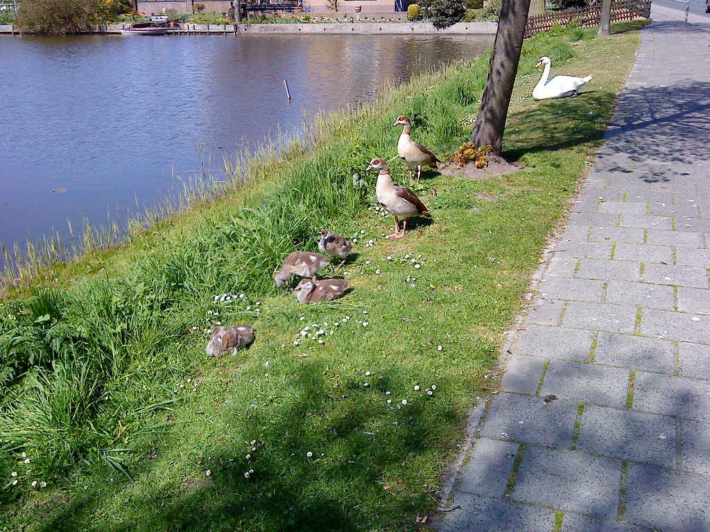 egyptian geese chicks