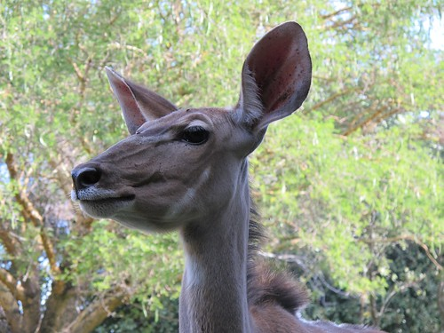 The Kudu - even more beautiful close up