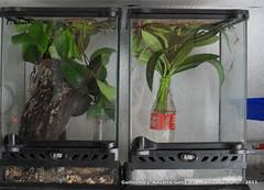 **** (Guillermo J. Navarro (XhIvAdEmOn)) Tags: insects terrarium phasmids terrariums peruphasma schultei platymeris sungaya inexpectata xhivademon shivademon peruphama