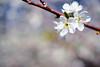 White Dreams (Ted Tsang) Tags: plants flower bokeh taiwan olympus 南投 macroshot em1 xinyi nantou 李花 信義 柳家梅園 anawesomeshot orientalplum beyondbokeh 1240mmf28