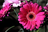 flowers textured (jodi_tripp) Tags: pink flowers hot glass magenta gerbera daisy textured joditripp challengeyouwinner wwwjoditrippcom photographybyjodtripp