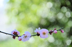 Gentle Wind (*Sakura*) Tags: pink flower green japan blossom explore sakura bud ume earlyspring     macro sakura