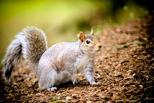 I'm Going Where You Can't Follow - a grey gray squirrel in Stayton Oregon