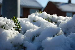 hedge snow