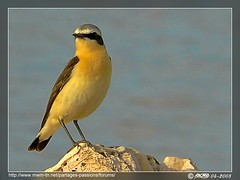Traquet motteux / Northern Wheatear (Oenanthe oenanthe) (Rached MILADI -  ) Tags: mer bird beach water animal lumix see panasonic 18 northern animaux plage oiseau fz rocher tunisie  wheatear   northernwheatear   rached  traquet motteux traquetmotteux fz18 dmcfz18 miladi  rachedmiladi