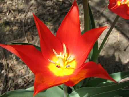 042408 Tulip 02