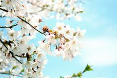 sakura (Sudachi) Tags: flower spring aomori sakura towada